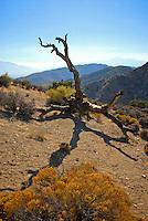 Dead Tree on hillside in Joshus Tree Nat'l Park