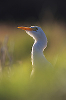 Cattle Egret, Bubulcus ibis , adult, Willacy County, Rio Grande Valley, Texas, USA