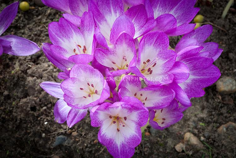Colchicum speciosum 'Atrorubens', fall blooming crocus flowers