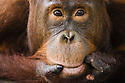 Young male orangutan resting head on hand, close-up, (Pongo pygmaeus), endangered species due to loss of habitat, spread of oil palm plantations, Tanjung Puting National Park, Borneo, East Kalimantan,