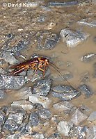 0113-0909  American Cockroach Preparing to Drink from Mud Puddle, Periplaneta americana  © David Kuhn/Dwight Kuhn Photography.