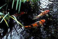 Large Japanese carp in fish pool swimming together among reeds and plants