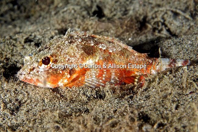 Scorpaena inermis, Mushroom scorpionfish, Dominica