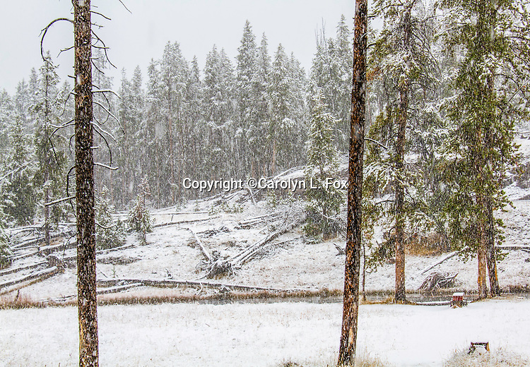 It's a snowy day in Yellowstone.