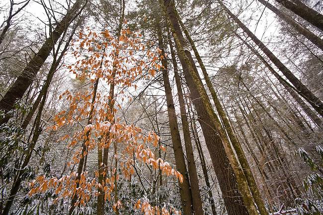 Fresh snow and winter beech tree, Rocky Fork, Unicoi County