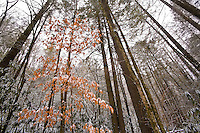 Fresh snow and winter beech tree, Rocky Fork, Unicoi County
