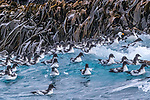 South Georgia Island (British Overseas Territory), Cape petrel (Daption capensis)