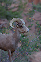 Desert Bighorn Sheep Ram seen in southern Utah's Zion National Park on a summer morning.