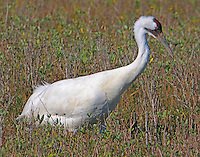 Adult whooping crane foraging for wolf berries