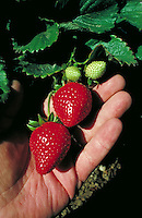Hand holding two bright red strawberries with green tops. Gilroy California.