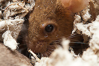 This orange female mouse is hunkered down in some bedding eating a sunflower seed.  But what's awesome is that you can actually see her lower eyelashes; she has at least 5 long straight hairs easily visible at the bottom of her left eye.  In fact, I didn't even know mice had eyelashes until I looked at this picture at 100% zoom.