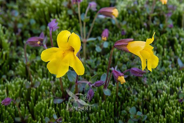 Tiling's monkeyflower or yellow monkeyflower (Mimulus tilingii).  Pacific Northwest.  Summer.