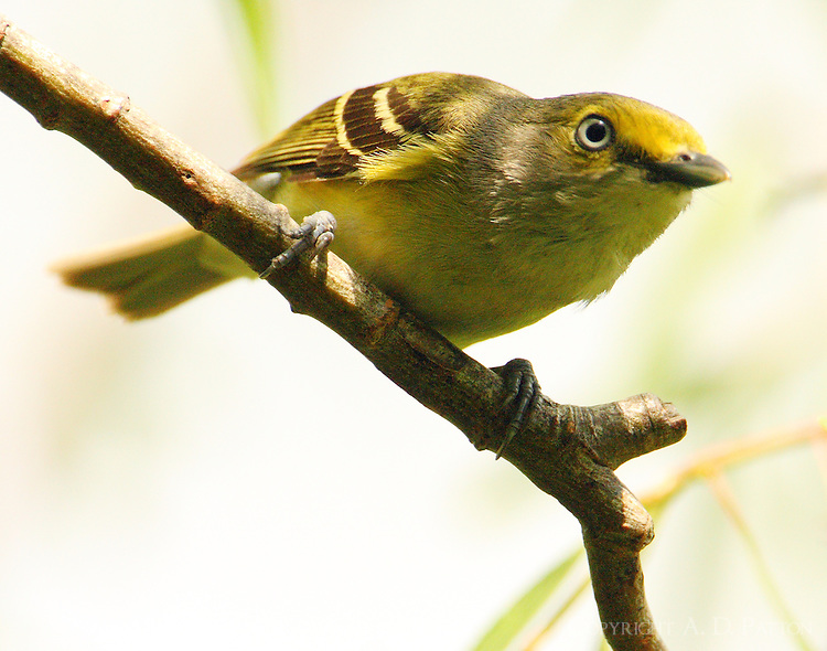 Adult white-eyed vireo