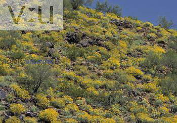 Spring Bloom of Brittlebush ,Encelia farinosa,, Sonoran Desert, Arizona, USA.