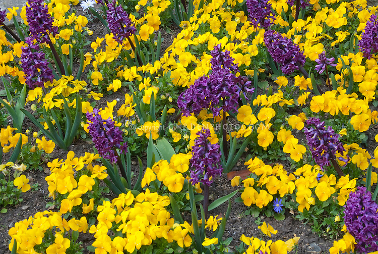 Bulbs and perennials in spring bloom together: yellow violets pansies and purple hyacinthus