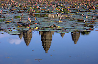 The reflection of the Angkor Wat temple towers in a lotus lilly pond, Siam Reap, Cambodia