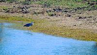 Wading heron at water's edge