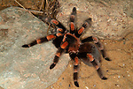 Mexican Red Knee Tarantula, Brachypelma smithi, Spider, on desert rock.Mexico....