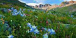 San Juan Mountains, CO<br /> American Basin with Colorado columbine (Aquilegia coerulea), paintbrush (Castilleja rhexifolia), and sneezeweed (Dugaldia hoopesii) and other wildflowers in meadows beneath Handies Peak