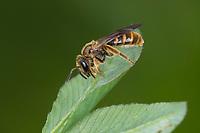 Gewöhnliche Schmalbiene, Schmalbiene, Gemeine Furchenbiene, Furchenbiene, Weibchen, Lasioglossum calceatum, Halictus calceatum, Common furrow bee, furrow bee, female, Schmalbienen, Furchenbienen, Halictidae, furrow bees