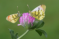 Moroccan Orange-tip (Anthocharis belia), adult male and female, resting on Red Clover (Trifolium pratense), flower, France, Europe