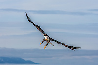 Bald eagle in flight over Kachemak Bay with the Kenai Mountains in the background