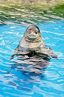 Hawaiian monk seal, Monachus schauinslandi, critically endangered species, endemic to Hawaiian Island chain, Oahu, Hawaii