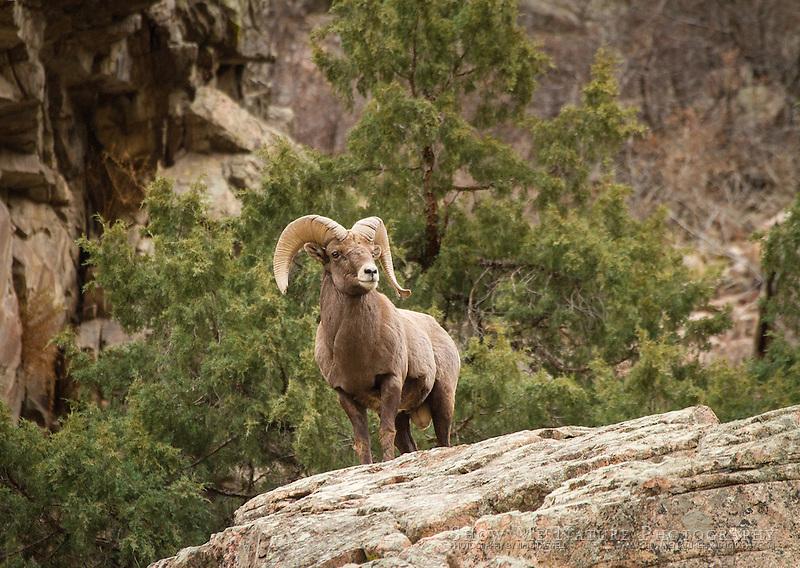 Bighorn Sheep ram overlooking the canyon