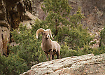 Bighorn Sheep ram overlooking the canyon