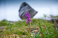 Native wild flora Fragrant Orchid flower, Gymnadenea conopsea, Orchidaceae, and boulder The Burren, County Clare, Ireland