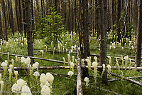 Beargrass in forest, Glacier National Park, Montana<br /> Xerophyllum tenax