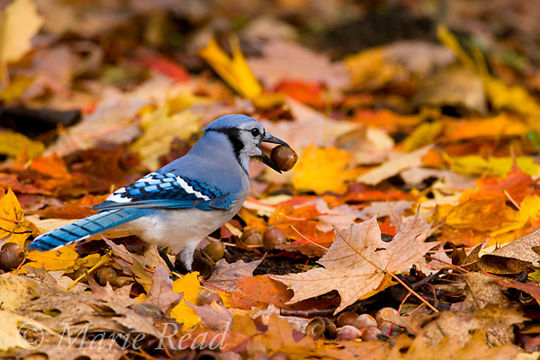 Blue Jay (Cyanocitta cristata) with an acorn in its bill: jays gather many acorns in autumn and hide them to provide food stores for the winter, New York USA