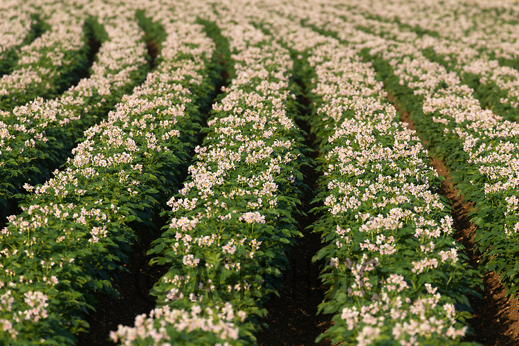 22.6.2020 Potatoes flowering in the Lincolnshire Fens<br /> ©Tim Scrivener Photographer 07850 303986<br />      ....Covering Agriculture In The UK.