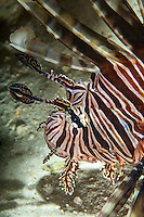 Red Lionfish<br />