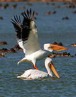 Two American white pelicans,nonbreeding, one taking off