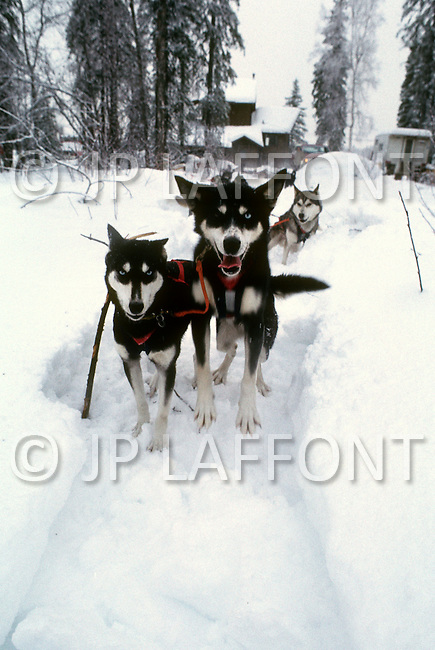 Alaska, U.S.A, January 1989. A sudden cold wave struck Alaska resulting to the temperature falling under 50 degrees Centigrade (58 degrees Fahrenheit). Husky dogs are widely used for transportation during extreme cold.