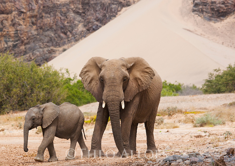 Namibia;  Namib Desert, Skeleton Coast,  desert elephant (Loxodonta africana) mother with calf