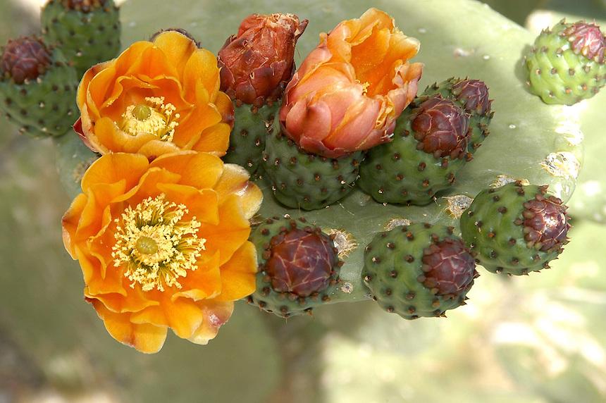 AJ Alexander - Prickly pear species in Scottsdale Arizona..Photo by AJ Alexander