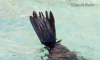 0406-1013  California Sea Lion Rear Flippers (Hind Flippers), Zalophus californianus  © David Kuhn/Dwight Kuhn Photography.