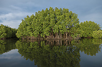 November 19, 2013 - Koh Kong. Some of the last remaining pristine mangrove forests in Southeast Asia are located inside the Peam Krasop Wildlife Sanctuary and they are among the most biologically diverse wetlands on earth. © Thomas Cristofoletti / Ruom