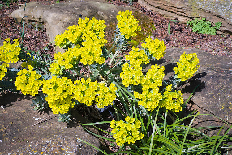 Euphorbia rigida in bloom on sloping hillside with bright yellow blooms, creeping perennial plant
