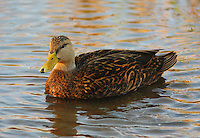 Male mottled duck