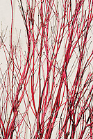 Acer palmatum Sango-kaku AGM red tree bark stems Japanese maple of winter interest