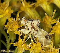 0904-06vv  Ambush bug - Phymata spp. Virginia - © David Kuhn/Dwight Kuhn Photography.