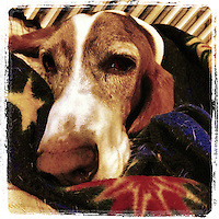 Our bassett hound, Elwood, cozies up with his blanket for bed the evening of November 27, 2012.