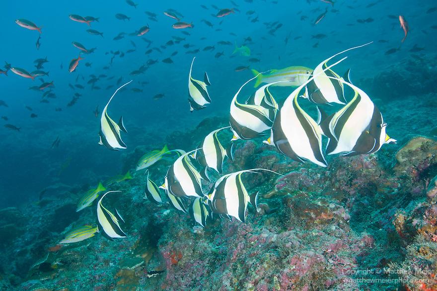 Cocos Island, Costa Rica; a school of Moorish Idol (Zanclus cornutus) swimming over the rocky reef, while a school of Pacific Creolefish (Paranthias colonus) swim overhead