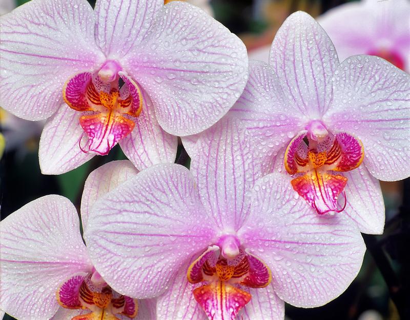 Orchid. Dtps. Rainbow Falls X Phal. Melcocha. With mist.