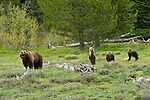 With nose pointed high, fifteen year old Grizzly 399 sniffs the gentle breeze as she pauses in a meadow; taking their mother's lead, the three cubs mimic her, learning the ancient ways of the grizzly. Grand Teton National Park, Wyoming.