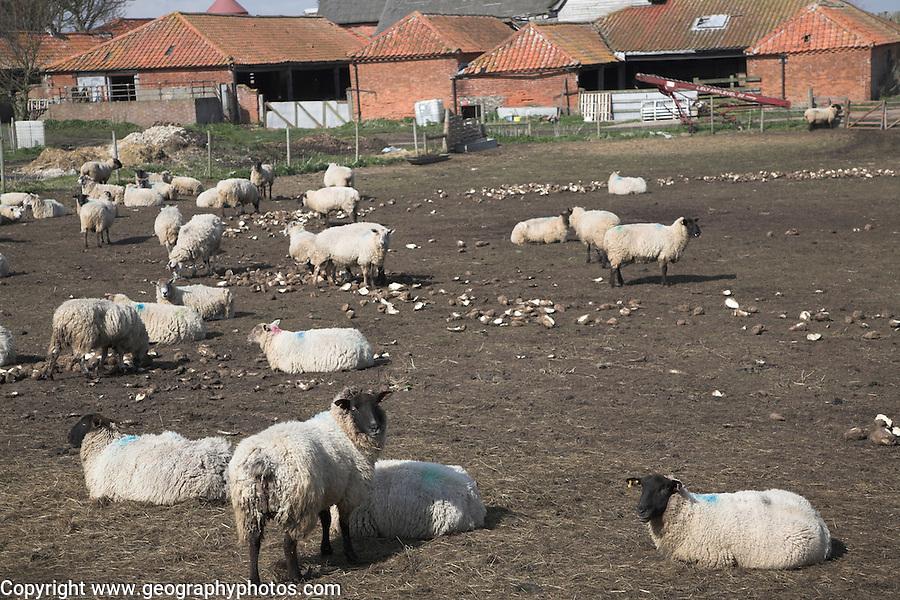 Sheep feeding on left over vegetable crops after harvest, Suffolk, England