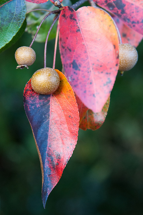 Himalayan pear (Pyrus pashia), early November.